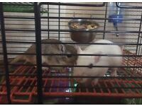2 x female gerbils + cage and equipment