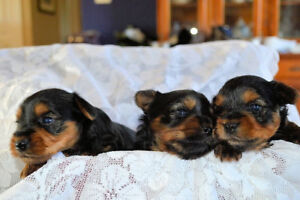 3 Female Yorkie pups