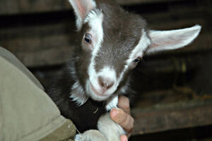 Baby goats - friendly, healthy, ready to go!