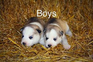 Pure Bred Husky Puppies