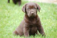 chiot labrador chocolat pur race enr et garantie