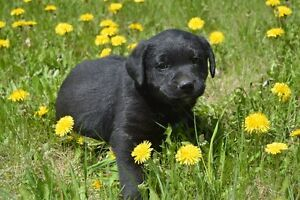 Cute Lab Puppies for Sale
