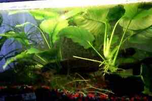Anubia Plants For Sale