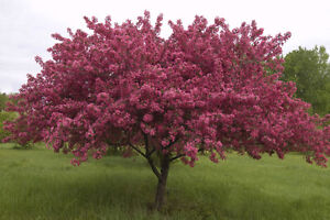 Small trees for sale tree weeping willow maple elm rose