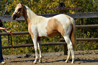 Dark Palomino tobiano APHA Filly Well handled