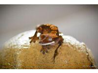 Crested gecko & full set up