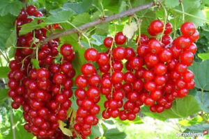 Redcurrant blackcurrant  edible  fruit  berry plants  not potted