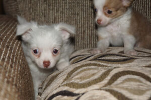 Long Haired Chihuahua Beautiful Puppies