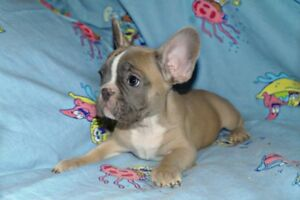 The 2 Most Beautiful Blue Fawn French Bulldog puppies!