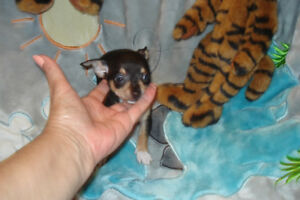 STUNNING 5 BLACK/TAN TRI CHIHUAHUA'S AVAILABLE