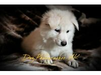 BEAUTIFUL BIG BONED WHITE GERMAN SHEPHERD PUPPIES LAST TWO READY NOW
