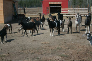 MILKING GOATS  GOAT MILK  & SOAP ~ FOR SALE