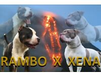Xl American bully puppies for sale