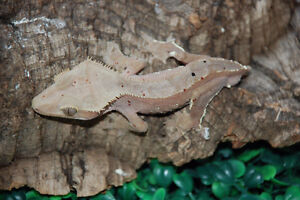PET ONLY crested geckos