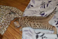 TICA PUREBRED BENGAL KITTENS FOR SALE.