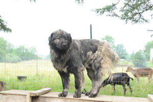 Mixed Mioritic/Caucasian Sheepdogs for Sale