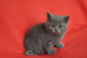 British Shorthair kittens. West Island Greater Montréal image 3