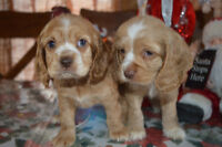 Beautiful cockers spaniel for sale - ready to go