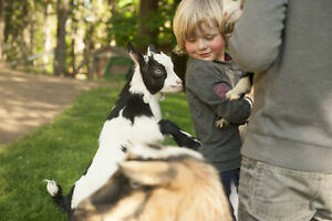 Purebred Nigerian Goats - kids available mid May