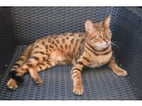 Missing cat £2000 reward Bengal spotted leopard tiger ginger brown Milton Road, Cambridge