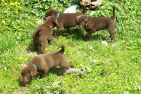 Gorgeous Chocolate Lab Puppies! 3 Males Left! Ready Now!