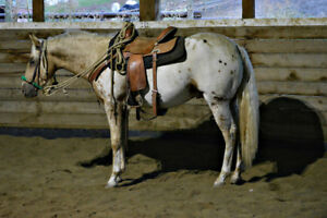 Appaloosa Stallion For sale