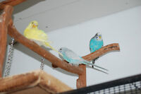 Budgies for sale - All Sold