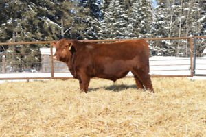 Registered Red Angus Yearling Bulls