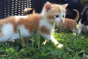 MALE COLICO/ RUSSIAN WHITE KITTENS- READY NOW!!