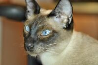 Chatons Siamois, Siamese kitten, Blue Point Seal Point