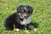 Price Reduced! Two Mini Aussie Boys Available!