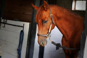 Sound 15.3 OTTB mare looking for new partner!