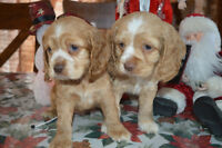 Beautiful cockers spaniel for sale