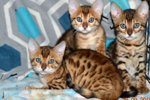 +++BENGAL CUBS+BROWN/SORREL/SILVER+SPOTTED/ROSETTES+++