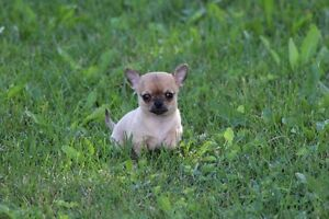 Mini male chihuahua  enregistré au club canin canadien!