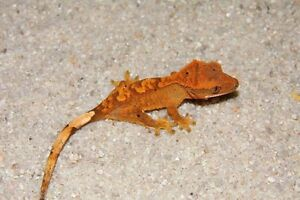 quality baby crested geckos