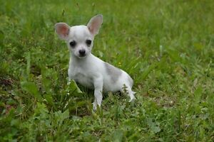 2 Chihuahua puppies left