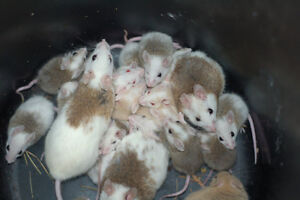 ASF rats for sale! Live and Frozen!