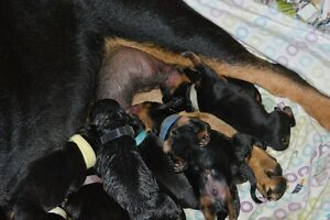 Rottweiler puppies looking for forever homes