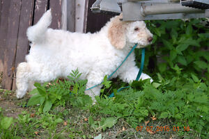 +++GOLDENDOODLE+F1B+ONE WHITE POLAR+ RESERVED W/DEP+++