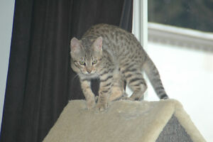 Savannah Kittens (Cubs) Available Now!