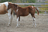Stunning well built APHA Filly