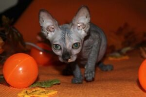 CHATON SPHYNX DISPONIBLE POUR RESERVATION!!!