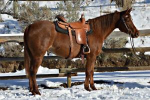 Started Appaloosa mare under saddle