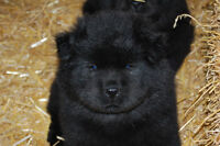 3 Black Male Chow Chow puppies