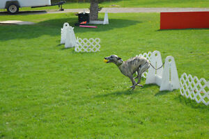 DOG TRAINING - OBEDIENCE, FLYBALL, FUN DOG, BEHAVIOR CONSULTS Peterborough Peterborough Area image 2