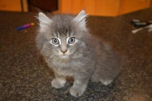 kitten male long hair grey