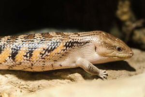 Looking for Blue Tongue Skink