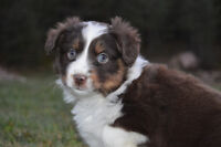 Only Two Stunning Mini Aussie Puppies! Ready This Weekend!