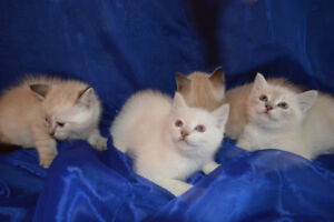 Ragdoll X kittens are ready for rehoming.